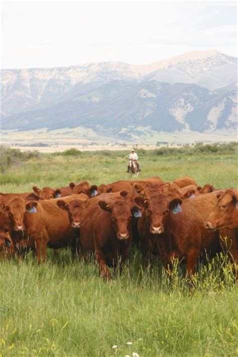 Simmental x Red Angus Cross