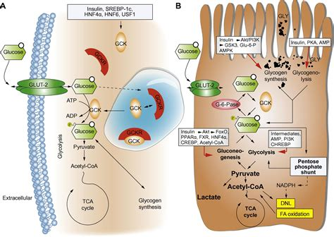 The interaction of hepatic lipid and glucose metabolism in