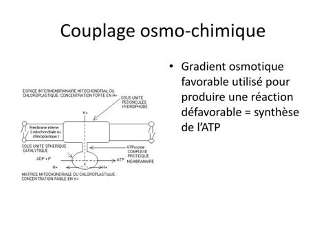 PPT - METABOLISME ENERGETIQUE CELLULAIRE PowerPoint