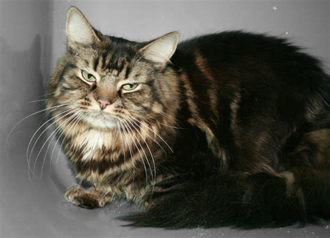 Chat europeen angora - Annonces chatons